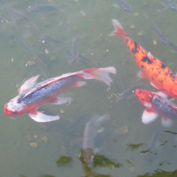 Huge koi fish at shades of green for Giant coy fish